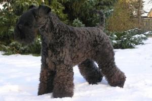 Cani Irlandesi: Kerry Blue Terrier