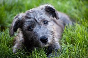 Cani Irlandesi: Glen of Imaal Terrier