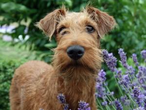 Cani Irlandesi: Irish Terrier