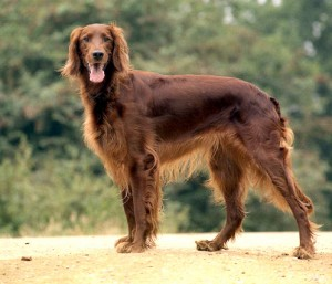 Cani Irlandesi: Setter Irlandese
