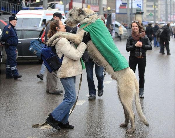 Cani Irlandesi: Levriero Irlandese