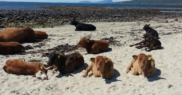 cows-in-the-sun-2-630x332